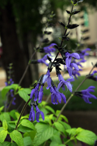 Salvia - Black and Blue
