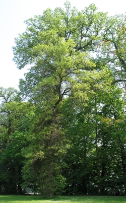Swamp White Oak - Quercus bicolor
