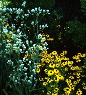 Prairie Flowers - Eryngium & Rudbeckia