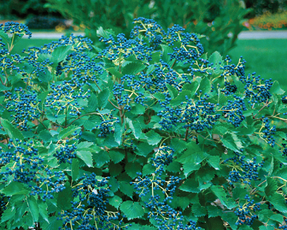 Viburnum - Blue Muffin