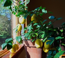 Meyer Lemon House Plant