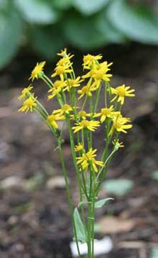 Squaw weed - Senecio aureus