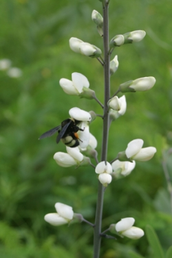 Baptisia Alba - White Indigo