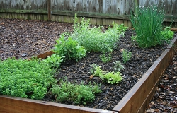 Herbs grown in a raised-bed
