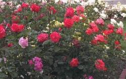 Roses Hybrid Teas
