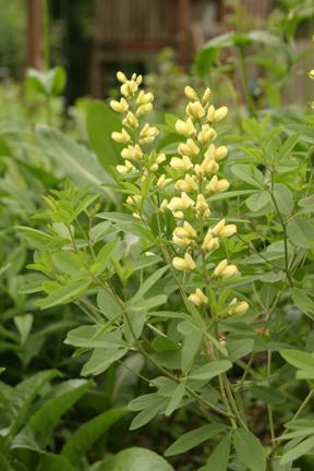 Baptisia Yellow False Indigoes - Baptisia sphaerocarpa
