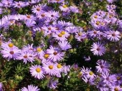 Blue Aromatic Aster - Aster oblongifolius