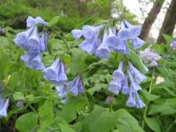 Bluebells - Mertensia virginica