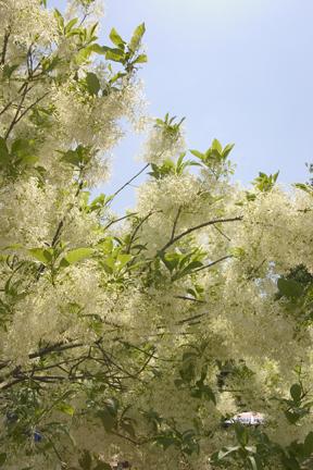 Fringetree - Chionanthus virginicus