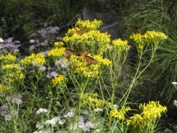 Goldenrods - Solidago sp.