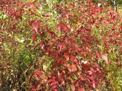 Gray Dogwood - Cornus racemosa