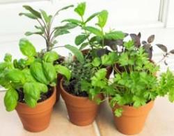 Herbs Indoors