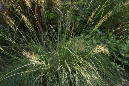 Prairie Dropseed Grass - Sporobolis heterolepis