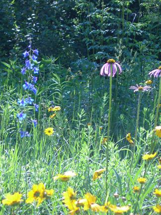 Prairie Flowers - Echinacea, Delphinium & Coreopsis
