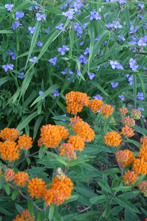Prairie Flowers - Tradescantia & Asclepias