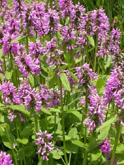 Purple Betony - Stachys offinialis