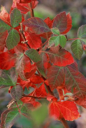 Fragrant sumac - Rhus aromatica 'Grow Low'