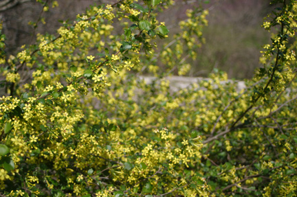 Golden currant - Ribes odoratum