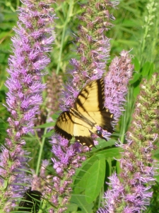 a photo of the eastern tiger swallowtail butterfly on blazing star